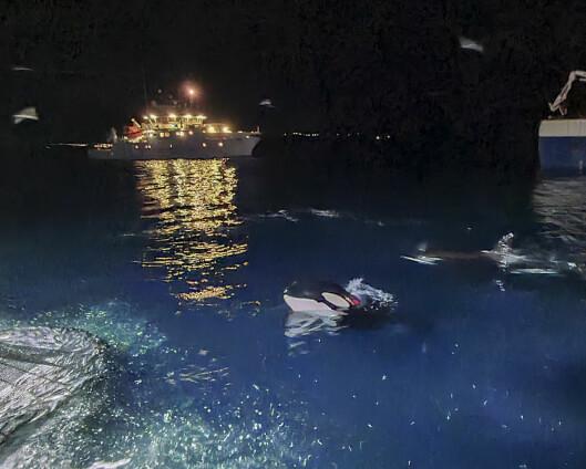 Kystvakta og spekkhoggerne overvåker sildefisket i nord
