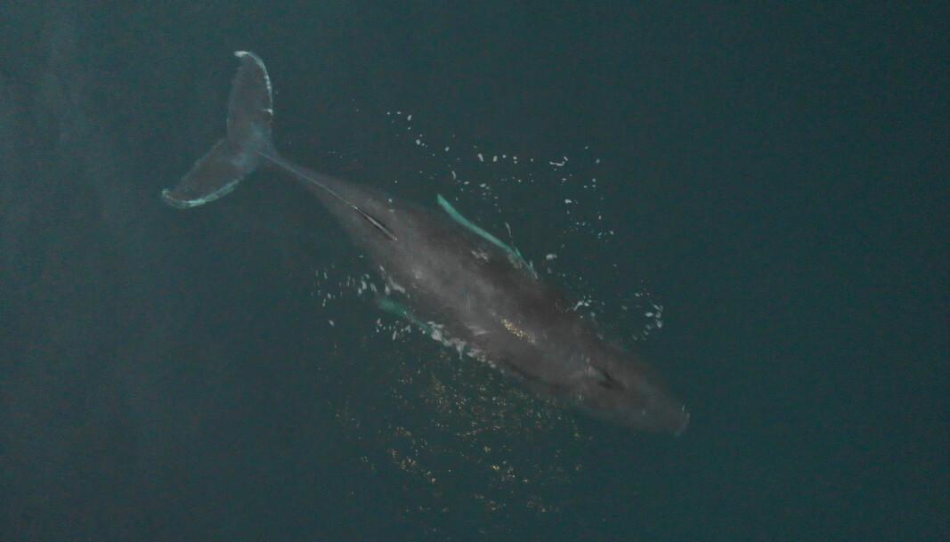KV Heimdal var med på å redde en hvalkalv i Kvænangen.
