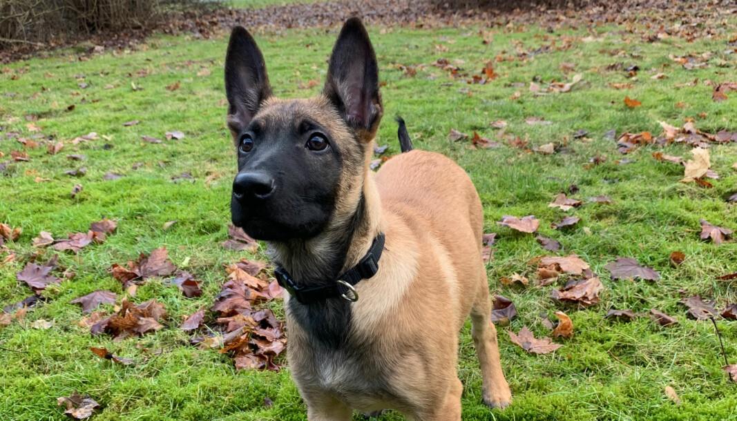 Forsvarets hundeskole søker nye fôrverter til sine kommende tjenestehunder. Dette er en av valpene.