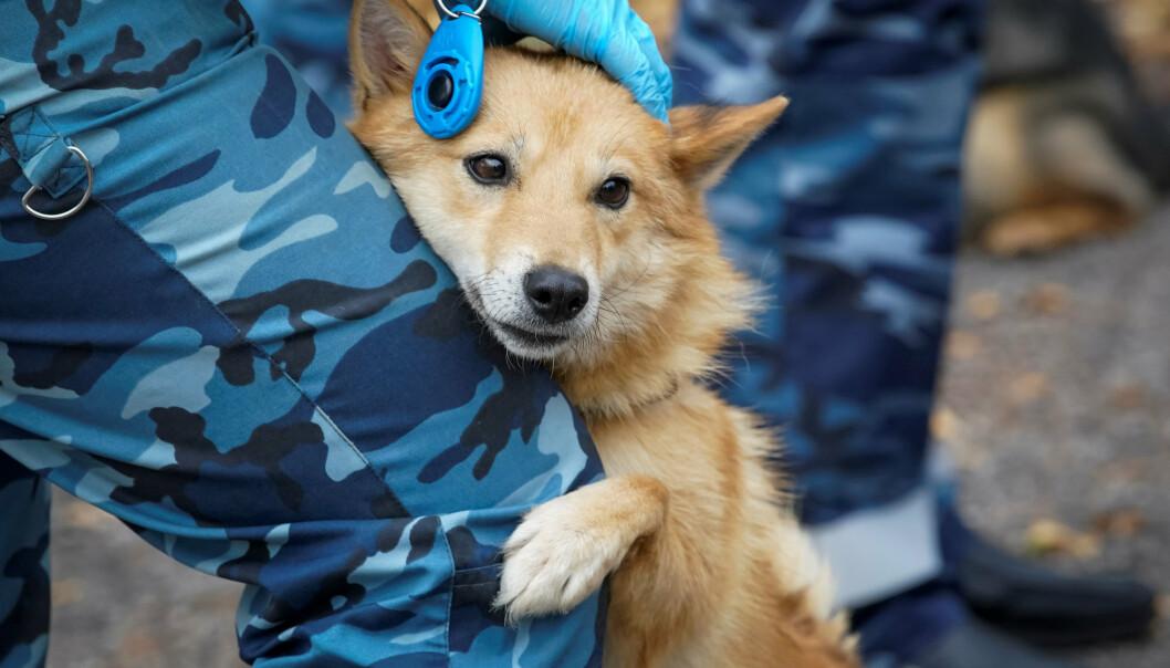En hundefører fra Aeroflot trener en av hundene til å oppdage koronaviruset i biomaterialer fra smittede mennesker. Treningen finner sted i nærheten av Sjeremetjevo internasjonale lufthavn utenfor Moskva og bildet er tatt 9. oktober 2020.