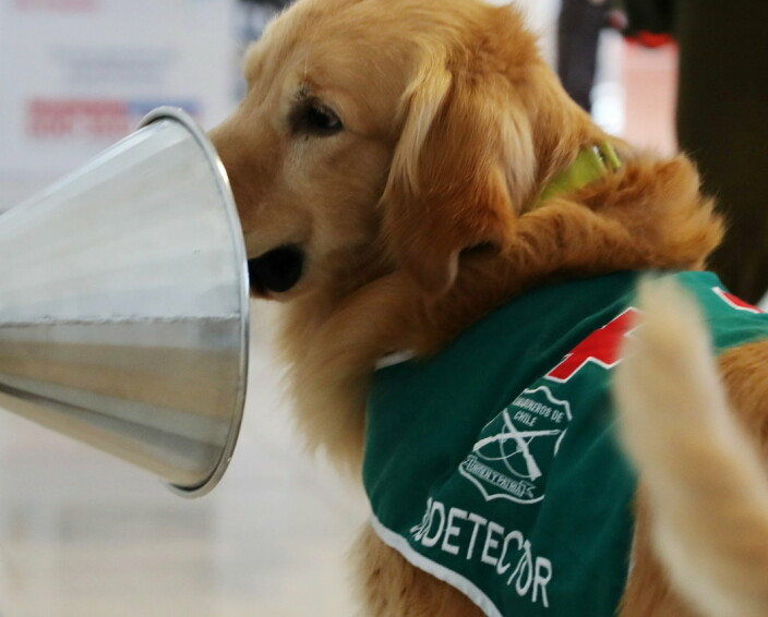 A sniffer dog trained to detect the coronavirus disease (COVID-19) in highly frequented places works, at the International Airport of Santiago, Chile, December 21, 2020. REUTERS/Ivan Alvarado