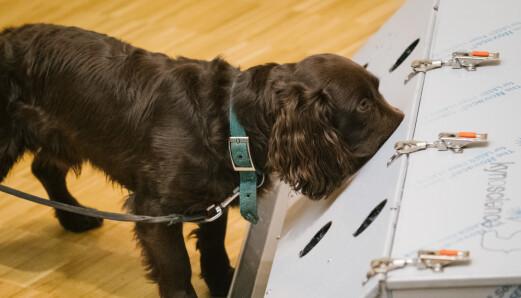 Sniffer: Cocker Spanielen Joe sniffer inn i en boks som blir brukt til trening for covid-hundene ved Veterinærhøyskolen i Hannover.