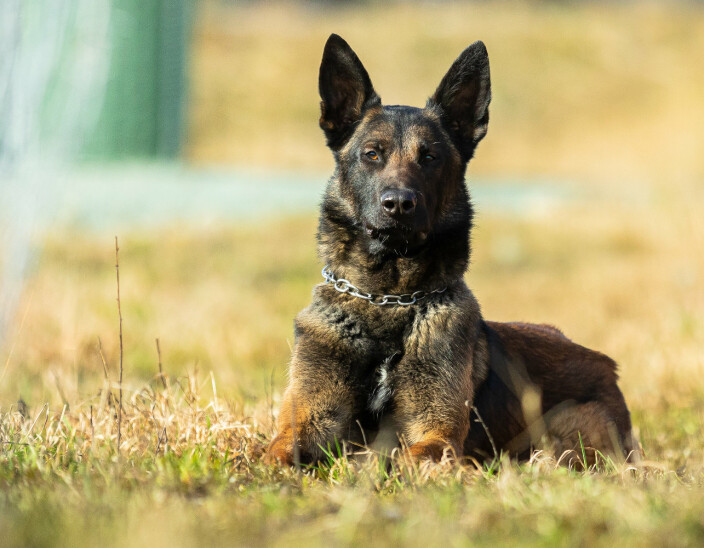 Han er Forsvarets godkjente militær tjenestehund nummer 2000