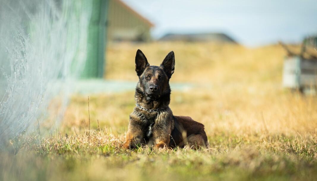Jack, Forsvarets tjenestehund nr. 2000 trener sammen med hundefører Aslak Danielsen.