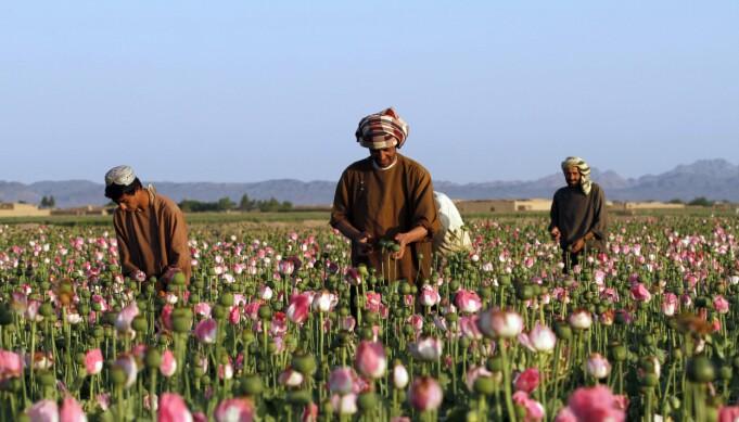 OPIUM: Vestlige land har brukt store beløp på å bekjempe opiumsdyrking i Afghanistan, men landet er fortsatt verdens største produsent og eksportør av heroin.