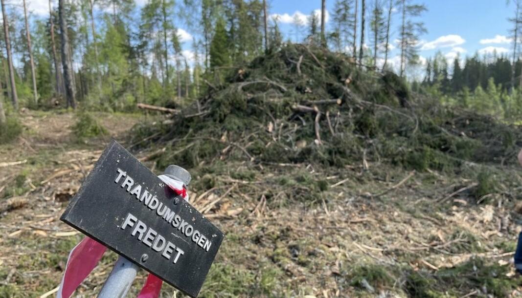 FREDET: Slik så det ut etter at Forsvarsbygg hadde hugget ned trær i den fredede skogen.