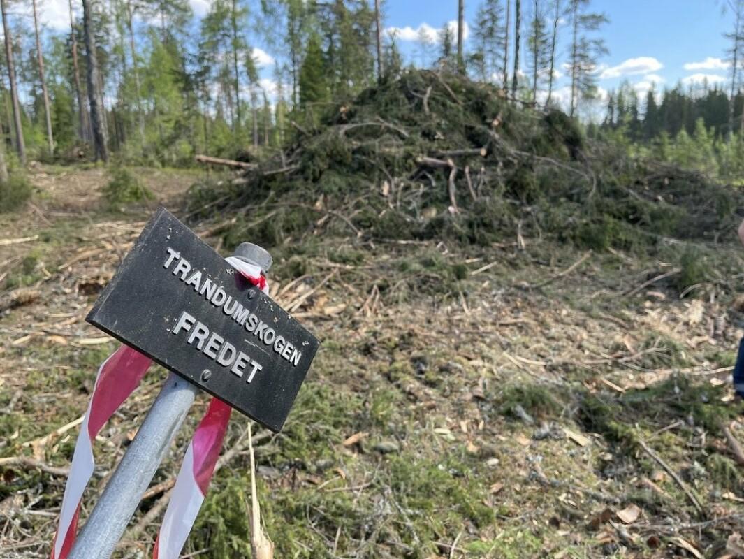 FREDET: 1500 grantrær ble hugget ned i en fredet del av Trandumskogen.
