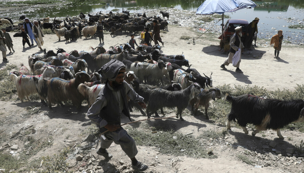ANGREP: Raketter har blitt fyrt av i hovedstaden i Afghanistan, Kabul. Mannen på bildet samler dyrene sine før han skal selge de videre i forbindelse med feiringen av id al-adha.